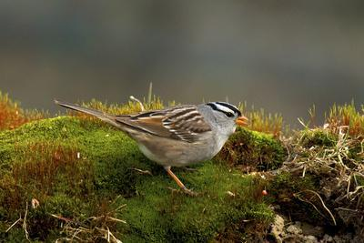 https://imgc.artprintimages.com/img/print/the-white-crowned-sparrow-native-to-north-america_u-l-pyoxmo0.jpg?p=0
