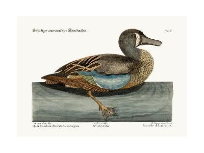 The White-Face Teal, 1749-73-Mark Catesby-Giclee Print