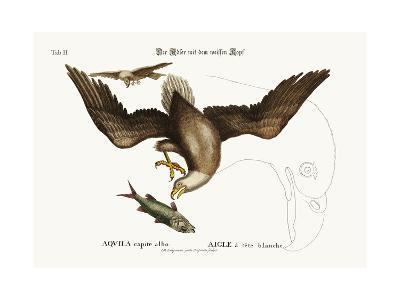The White-Headed Eagle, 1749-73-Mark Catesby-Giclee Print