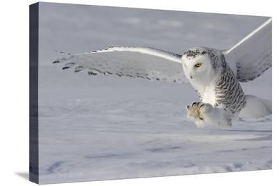 The White Hunter-Mircea Costina-Stretched Canvas Print