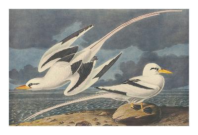The White-Tailed Tropic Bird-John James Audubon-Premium Giclee Print