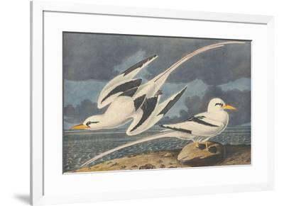 The White-Tailed Tropic Bird-John James Audubon-Framed Premium Giclee Print
