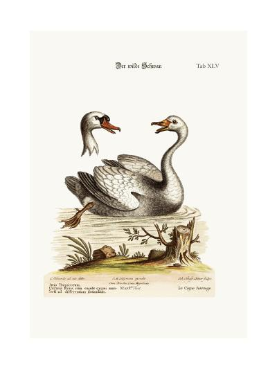 The Wild Swan, 1749-73-George Edwards-Giclee Print