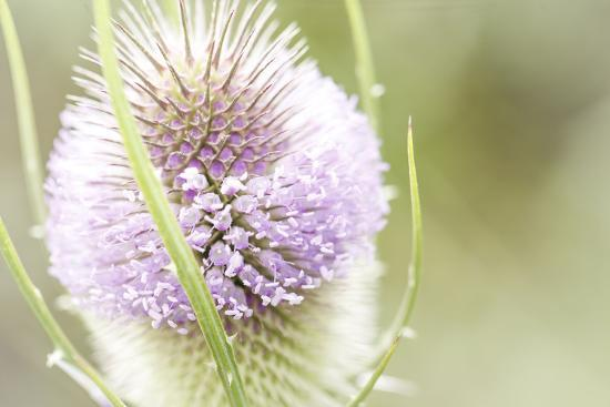 The Wild Teasel, Dipsacus Fullonum, a Special Plant in the Garden  Photographic Print by Petra Daisenberger | Art com