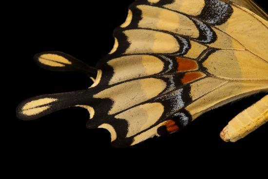 The Wing of a Giant Swallowtail Butterfly, Papilio Cresphontes, at the Lincoln Children's Zoo-Joel Sartore-Photographic Print