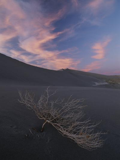 The Withered Branches of a Dead Shrub Lie on a Sand Dune-Michael Melford-Photographic Print