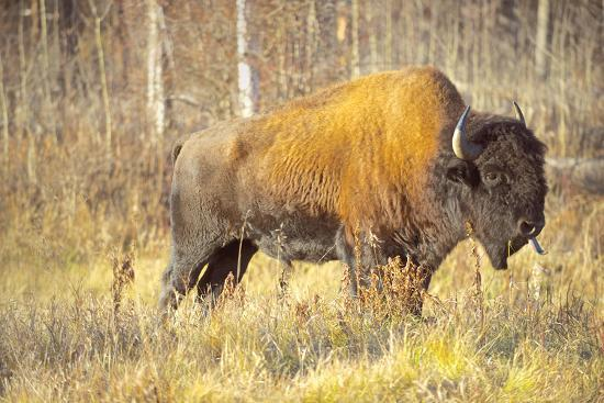 The Wood Bison-Richard Wright-Photographic Print