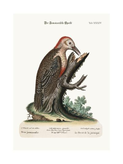 The Wood-Pecker of Jamaica, 1749-73-George Edwards-Giclee Print