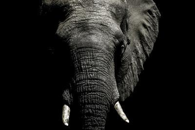 The Wrinkled Trunk and Face of an African Elephant-Jason Edwards-Photographic Print