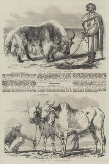 The Yak, or Thibet Ox-William Carpenter-Giclee Print