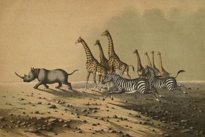 The Zebra, The Giraffe, The White Rhinoceros