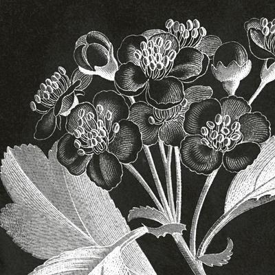 Mespilus Dxyacantha