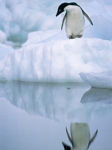 Adelie Penguin on Ice Floe by Theo Allofs