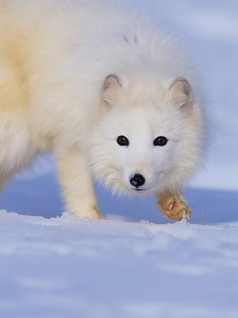 Arctic Fox Walking Across Snow