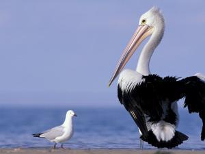 Australian Pelican and Gull on Beach, Shark Bay Marine Park, Australia by Theo Allofs