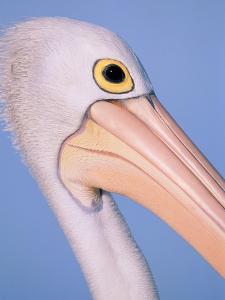 Australian pelican by Theo Allofs