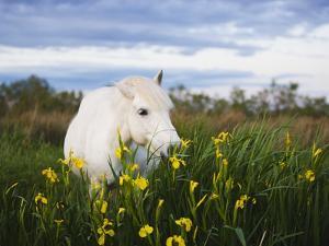 Camargue horse grazing on yellow iris by Theo Allofs