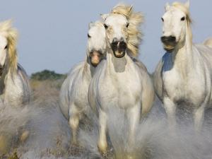 Camargue horses running in marsh by Theo Allofs