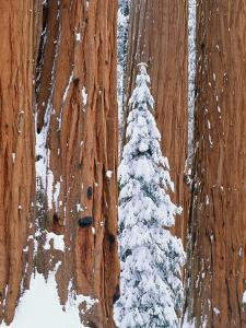 Conifer and redwood forest in winter by Theo Allofs
