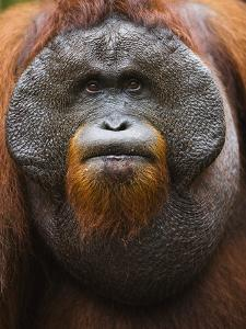 Dominant male orangutan by Theo Allofs