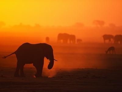 Elephant Herd Silhouetted Against Orange Sky