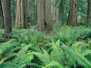 Ferns in forest, Redwood National Park, California, USA by Theo Allofs