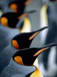 Group of king penguins by Theo Allofs