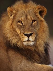 Male Lion Resting by Theo Allofs