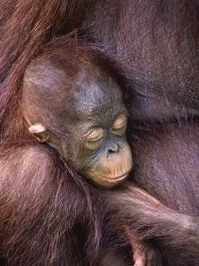 Orangutan Baby Sleeping by Theo Allofs