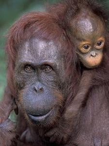 Orangutan Mother with Baby on Her Back, Tanjung National Park, Borneo by Theo Allofs