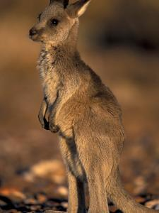 Red Kangaroos Joey, New South Wales, Australia by Theo Allofs