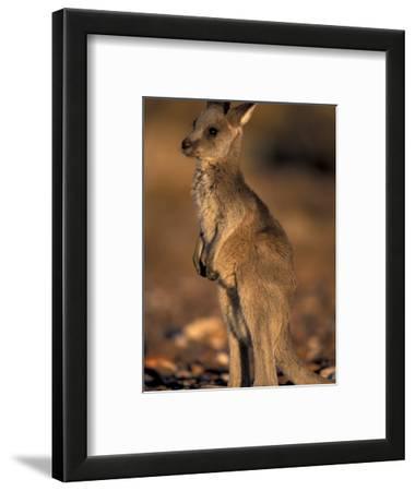 Red Kangaroos Joey, New South Wales, Australia