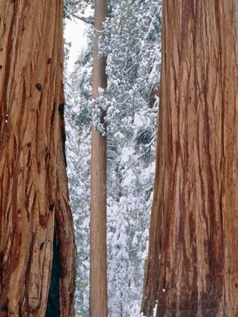 Redwood giants, California, USA