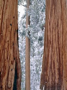 Redwood giants, California, USA by Theo Allofs