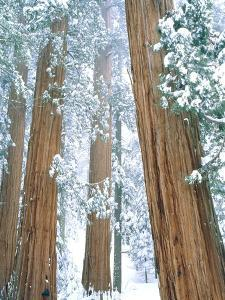 Redwood giants in winter, California, USA by Theo Allofs