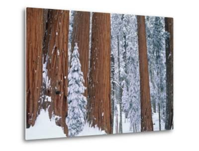 Snow covered redwood trees in winter, Yosemite, USA