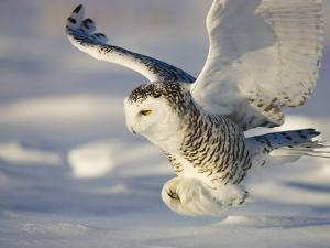 Snowy Owl in Flight Hunting by Theo Allofs