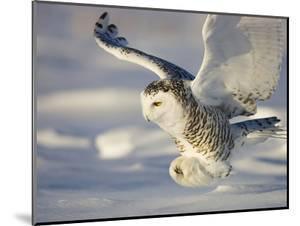 Snowy Owl in Flight Hunting by Theo Allofs