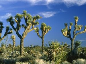 Some Joshua trees in the Joshua Tree national park, california (USA) by Theo Allofs