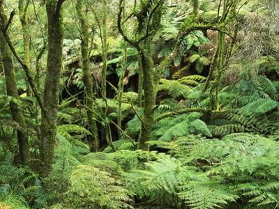 Temperate Rain Forest in Australia's Otway Range