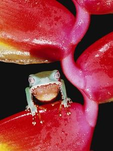 Two-colored Tree Frog on Lobster Claw Heliconia by Theo Allofs