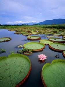 Water lily leaves with pink flower, Pantanal, Brazil (near Paraguay River) by Theo Allofs