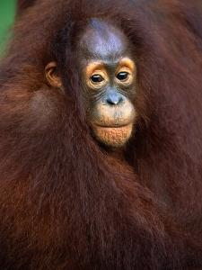 Young Orangutan in Mother's Arm by Theo Allofs