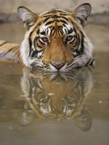 Young Tiger in Water by Theo Allofs