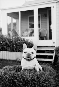 French Bulldog Southampton NY by Theo Westenberger