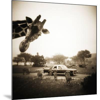 Giraffe and Friends Falcon Ridge Texas by Theo Westenberger