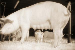 Pig and Five Piglets by Theo Westenberger