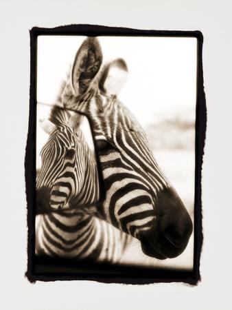 Zebra in the Mirror 2