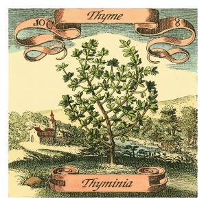 Thyme by Theodor de Bry