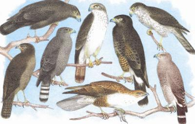 Coopers, Grubers, Harlan and Harris Buzzards, and Chicken Hawk